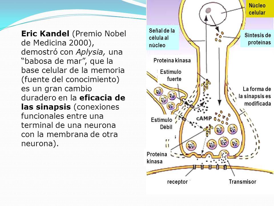 Eric Kandel (Premio Nobel de Medicina 2000), demostró con Aplysia, una babosa de mar, que la base celular de la memoria (fuente del conocimiento) es u
