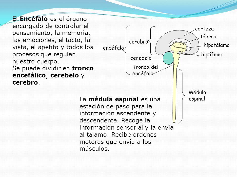 Médula espinal encéfalo Tronco del encéfalo hipófisis cerebro hipotálamo tálamo corteza cerebelo El Encéfalo es el órgano encargado de controlar el pe