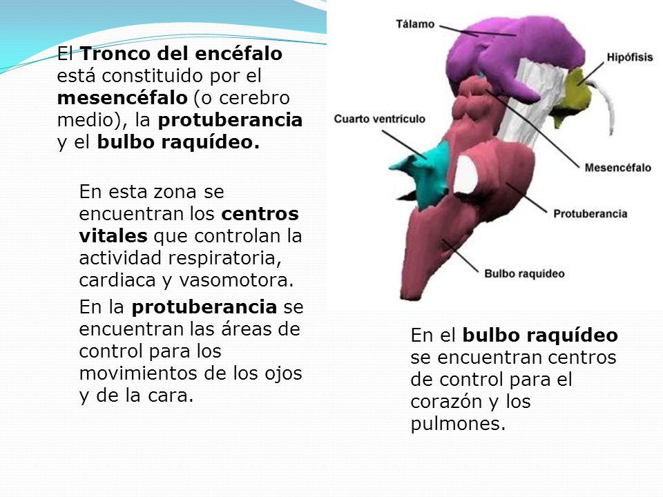 En esta zona se encuentran los centros vitales que controlan la actividad respiratoria, cardiaca y vasomotora. En la protuberancia se encuentran las á