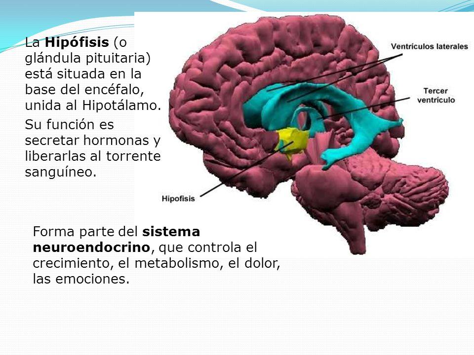 Forma parte del sistema neuroendocrino, que controla el crecimiento, el metabolismo, el dolor, las emociones. La Hipófisis (o glándula pituitaria) est