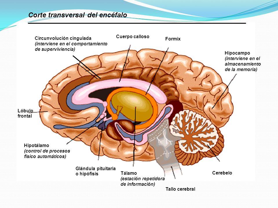 Circunvolución cingulada (interviene en el comportamiento de superviviencia) Cuerpo calloso Formix Hipocampo (interviene en el almacenamiento de la me