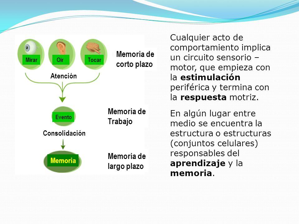 Mirar OirTocar Evento Memoria Atención Consolidación Memoria de corto plazo Memoria de Trabajo Memoria de largo plazo Cualquier acto de comportamiento