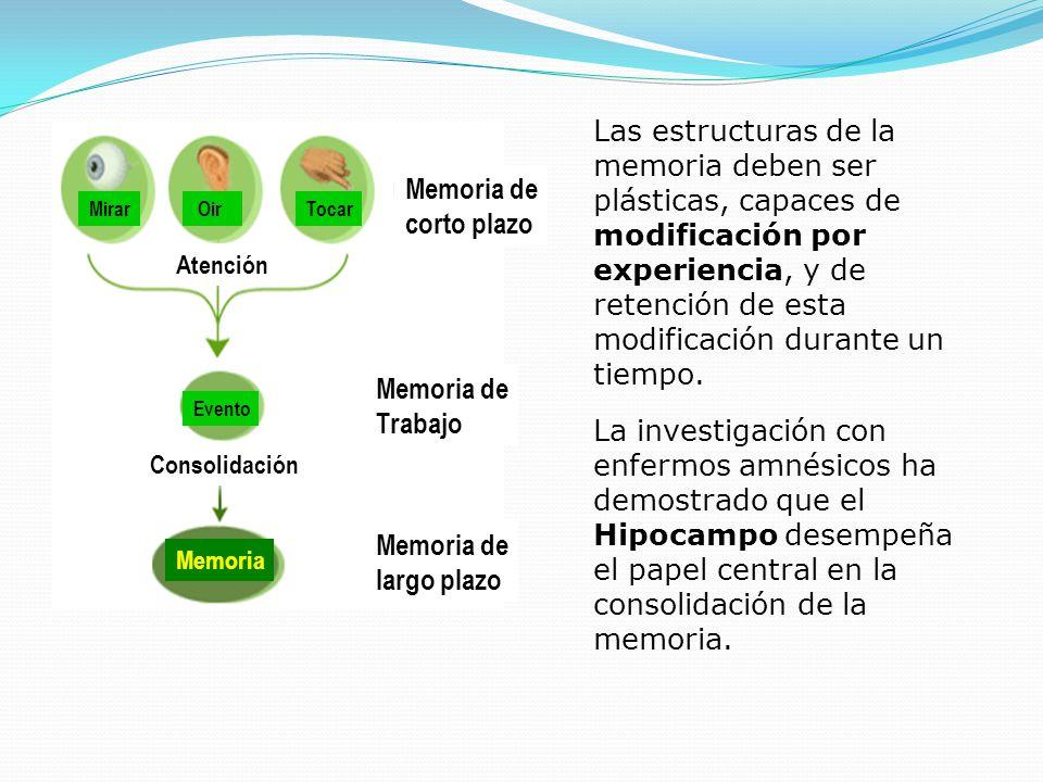 Mirar OirTocar Evento Memoria Atención Consolidación Memoria de corto plazo Memoria de Trabajo Memoria de largo plazo Las estructuras de la memoria de