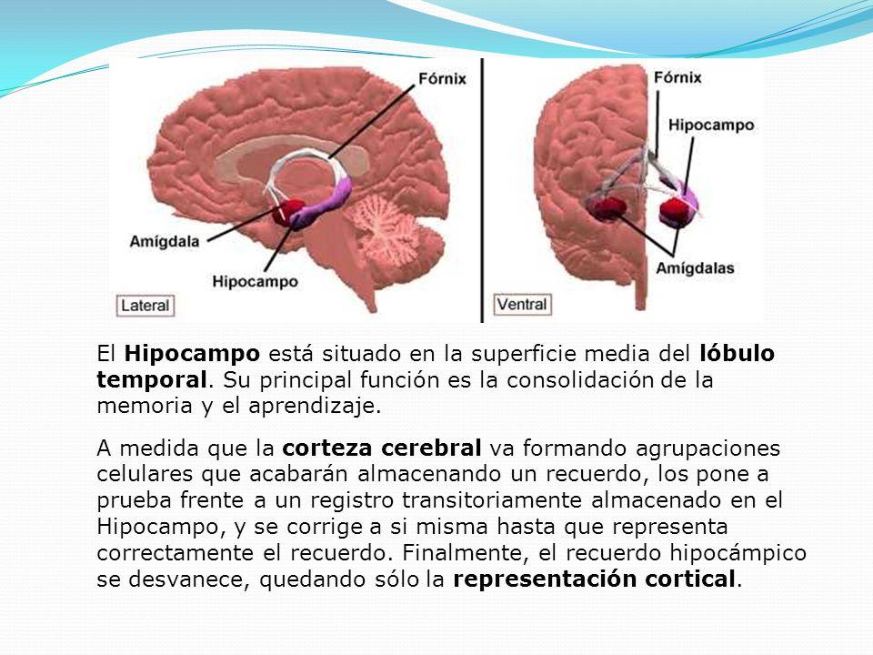 El Hipocampo está situado en la superficie media del lóbulo temporal. Su principal función es la consolidación de la memoria y el aprendizaje. A medid