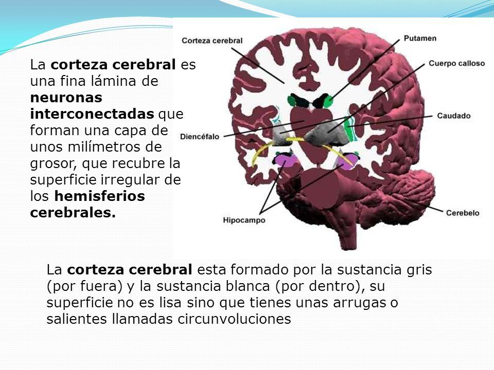La corteza cerebral esta formado por la sustancia gris (por fuera) y la sustancia blanca (por dentro), su superficie no es lisa sino que tienes unas a