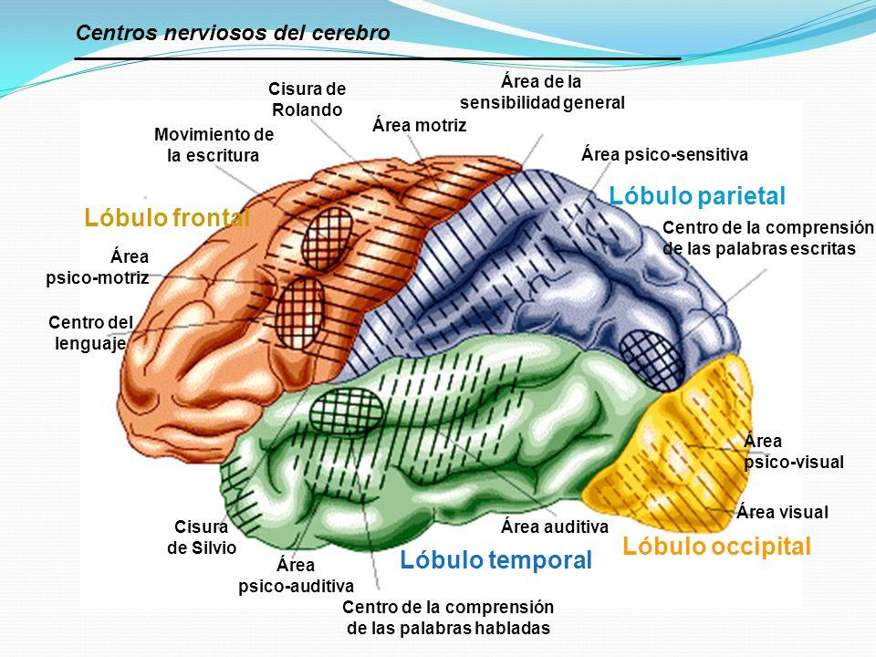 Cisura de Rolando Área motriz Área de la sensibilidad general Movimiento de la escritura Área psico-motriz Centro del lenguaje Cisura de Silvio Área p