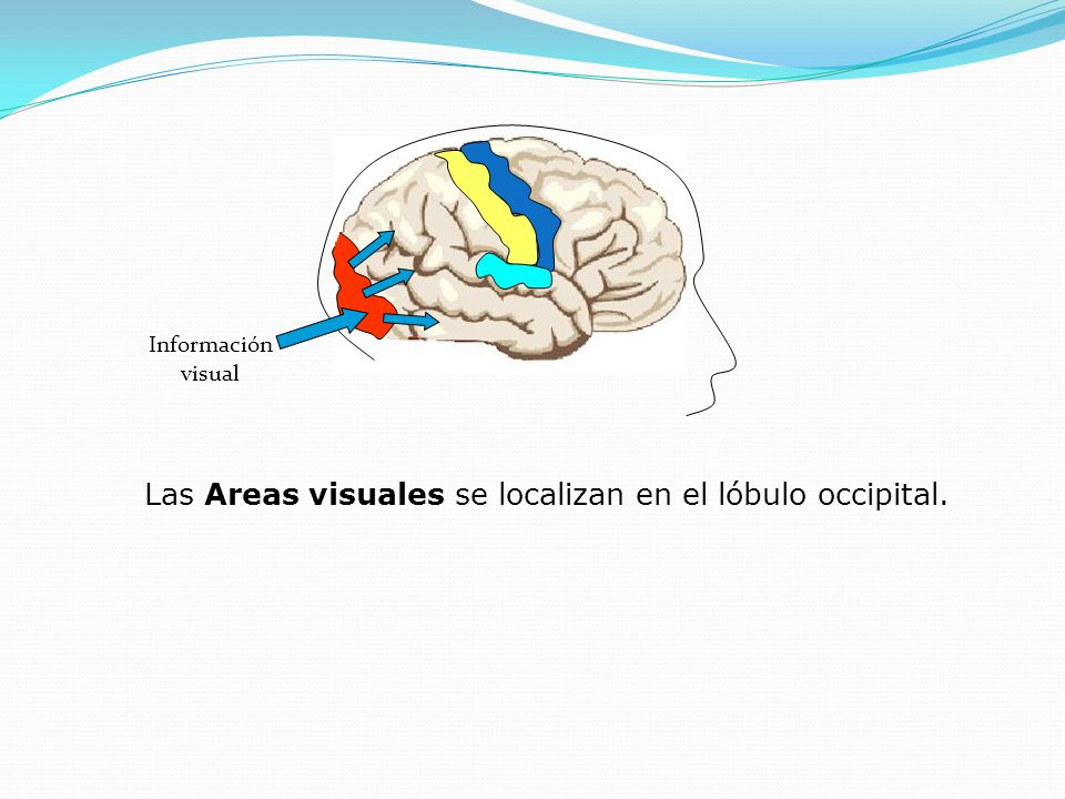 Información visual Las Areas visuales se localizan en el lóbulo occipital.
