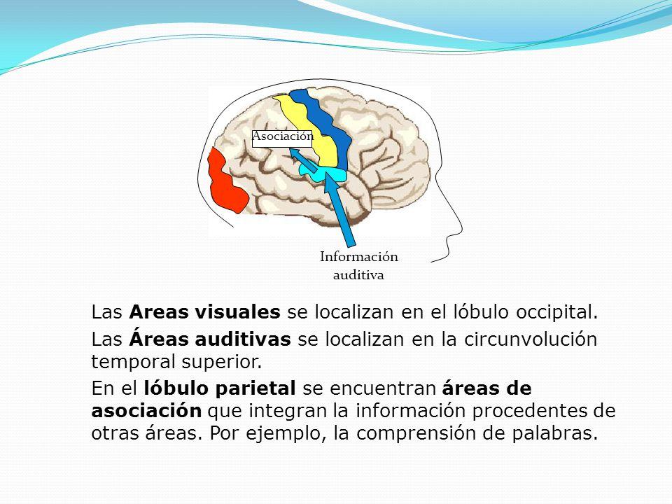 Información auditiva Asociación Las Areas visuales se localizan en el lóbulo occipital. Las Áreas auditivas se localizan en la circunvolución temporal