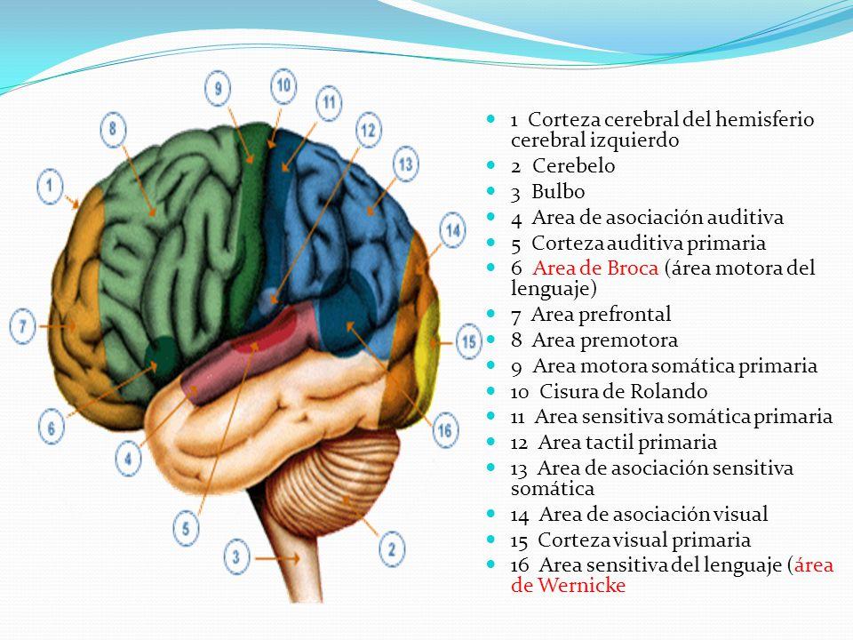 1 Corteza cerebral del hemisferio cerebral izquierdo 2 Cerebelo 3 Bulbo 4 Area de asociación auditiva 5 Corteza auditiva primaria 6 Area de Broca (áre