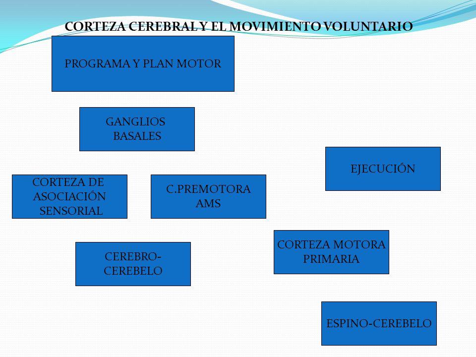 CORTEZA CEREBRAL Y EL MOVIMIENTO VOLUNTARIO PROGRAMA Y PLAN MOTOR GANGLIOS BASALES C.PREMOTORA AMS EJECUCIÓN CORTEZA DE ASOCIACIÓN SENSORIAL CEREBRO-