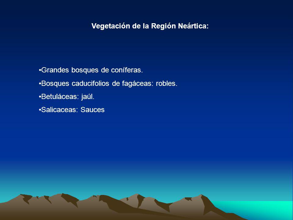 Vegetación de la Región Neártica: Grandes bosques de coníferas. Bosques caducifolios de fagáceas: robles. Betuláceas: jaúl. Salicaceas: Sauces
