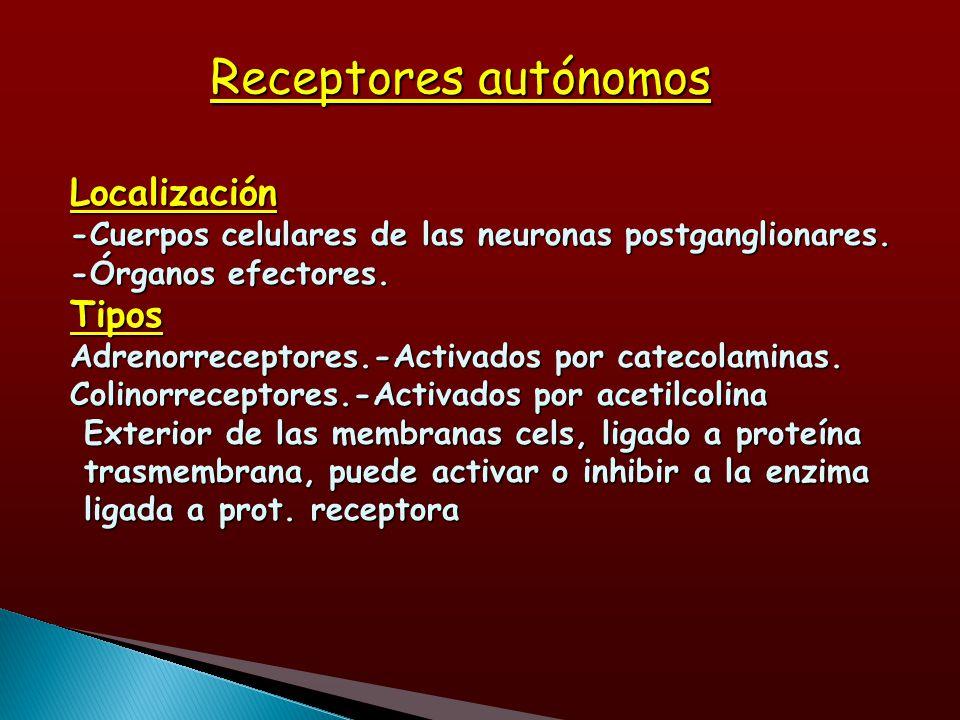 Receptores autónomos Localización -Cuerpos celulares de las neuronas postganglionares. -Órganos efectores. Tipos Adrenorreceptores.-Activados por cate