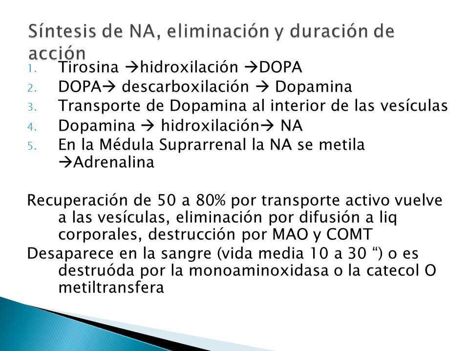 1. Tirosina hidroxilación DOPA 2. DOPA descarboxilación Dopamina 3. Transporte de Dopamina al interior de las vesículas 4. Dopamina hidroxilación NA 5