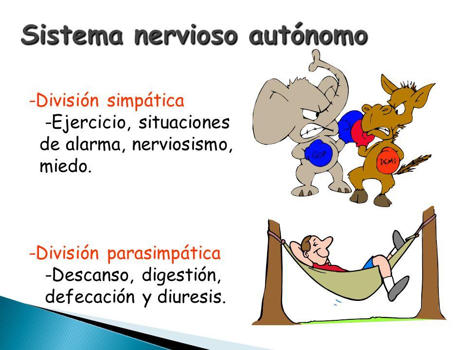 -División simpática -Ejercicio, situaciones de alarma, nerviosismo, miedo. -División parasimpática -Descanso, digestión, defecación y diuresis.