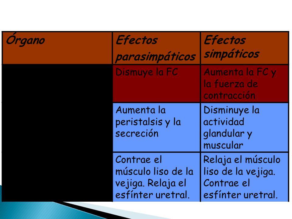 ÓrganoEfectos parasimpáticos Efectos simpáticos Músculo cardíaco Dismuye la FCAumenta la FC y la fuerza de contracción Órganos digestivos Aumenta la p