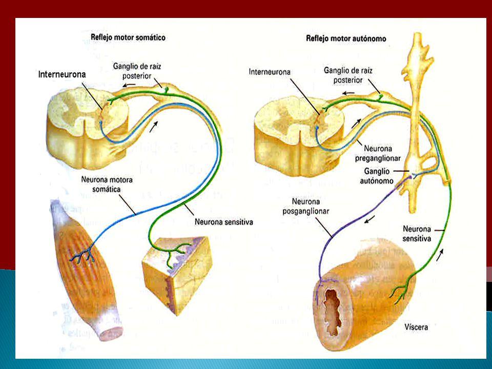 Permite que un solo sistema mantenga la actividad de un órgano estimulado Vasos sanguíneos Tono simpático Tubo digestivo Tono parasimpático