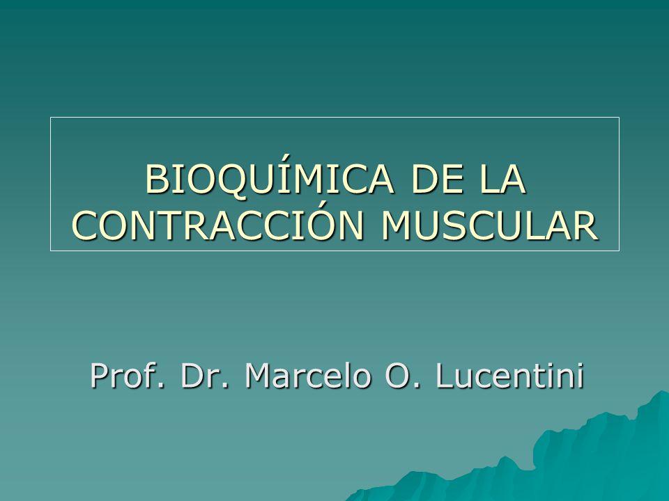 BIOQUÍMICA DE LA CONTRACCIÓN MUSCULAR Prof. Dr. Marcelo O. Lucentini