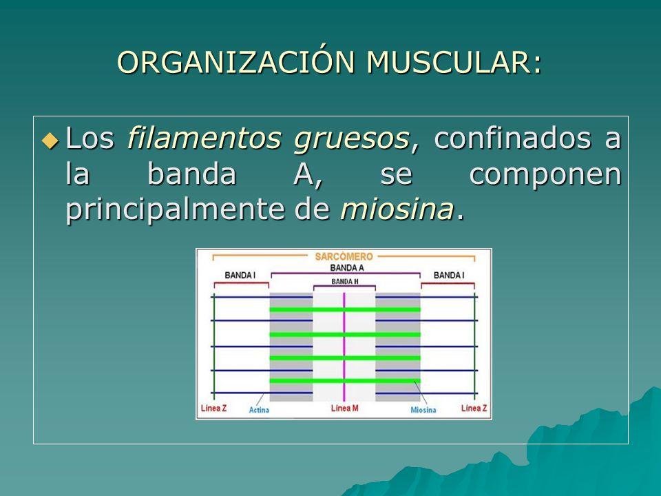 ORGANIZACIÓN MUSCULAR: Los filamentos gruesos, confinados a la banda A, se componen principalmente de miosina.