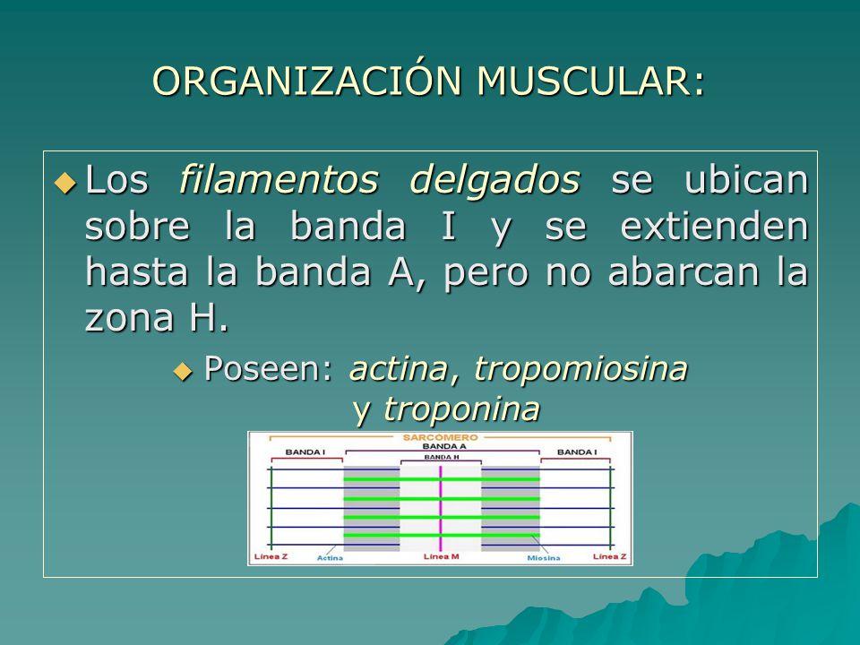 ORGANIZACIÓN MUSCULAR: Los filamentos delgados se ubican sobre la banda I y se extienden hasta la banda A, pero no abarcan la zona H.