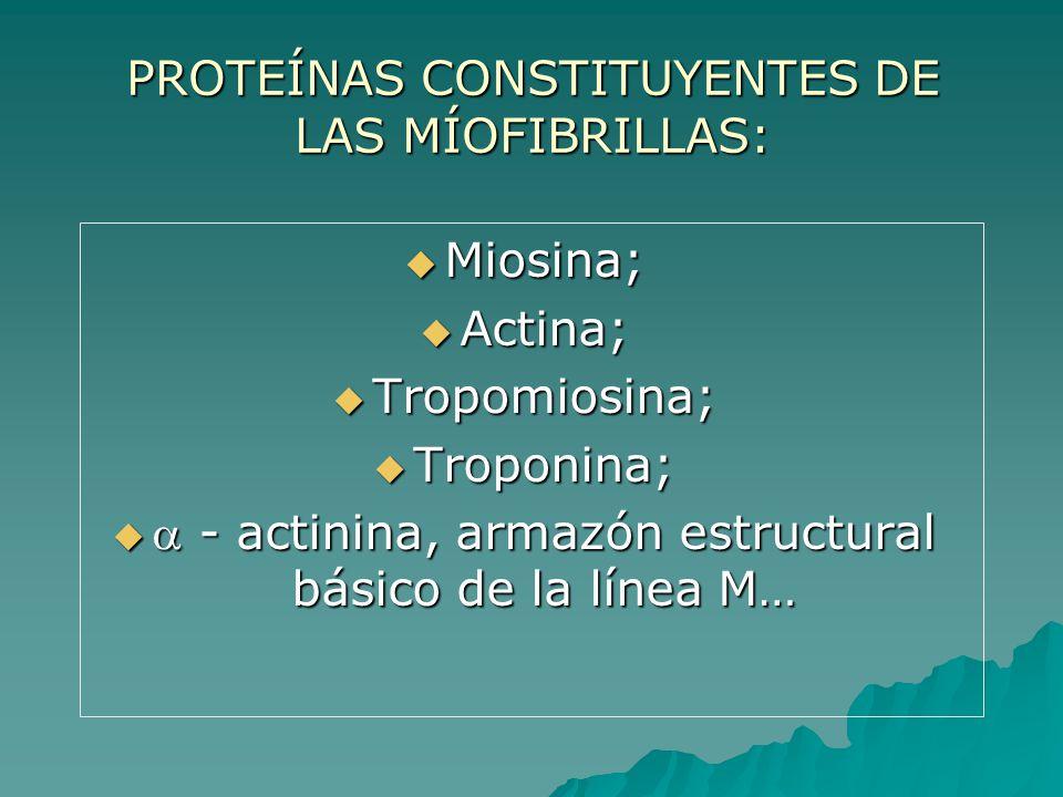 PROTEÍNAS CONSTITUYENTES DE LAS MÍOFIBRILLAS: Miosina; Miosina; Actina; Actina; Tropomiosina; Tropomiosina; Troponina; Troponina; - actinina, armazón estructural básico de la línea M… - actinina, armazón estructural básico de la línea M…