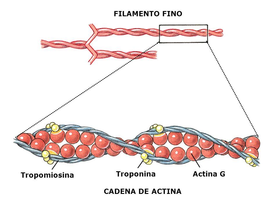 Tropomiosina TroponinaActina G CADENA DE ACTINA FILAMENTO FINO
