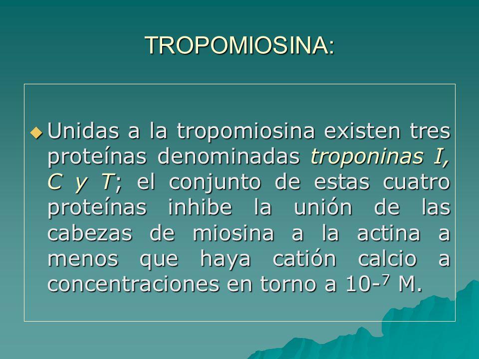 TROPOMIOSINA: Unidas a la tropomiosina existen tres proteínas denominadas troponinas I, C y T; el conjunto de estas cuatro proteínas inhibe la unión de las cabezas de miosina a la actina a menos que haya catión calcio a concentraciones en torno a 10- 7 M.