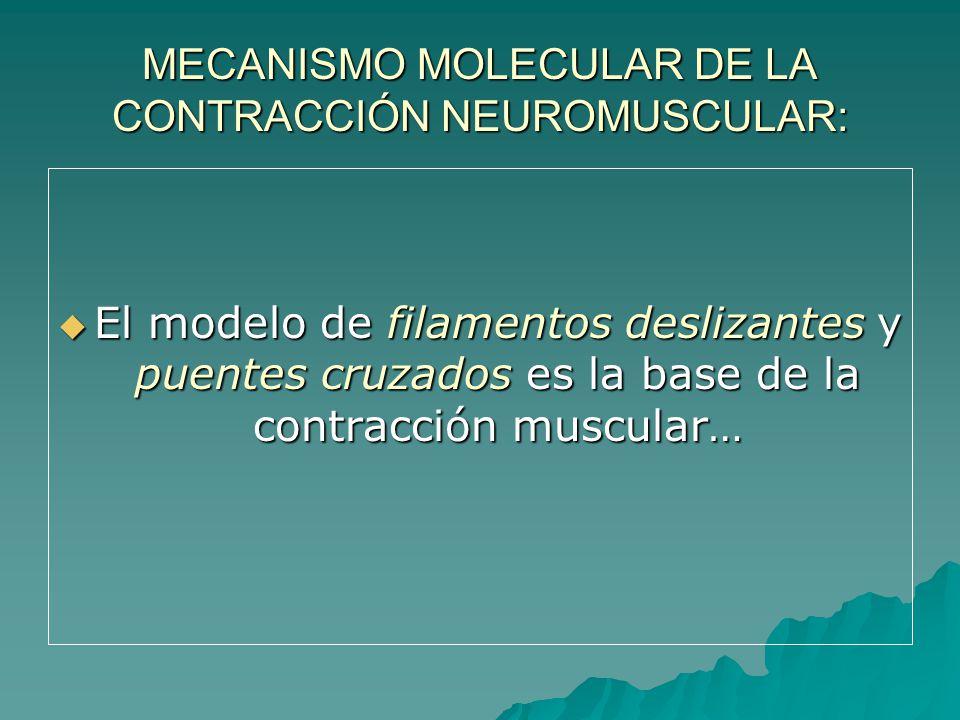 MECANISMO MOLECULAR DE LA CONTRACCIÓN NEUROMUSCULAR: El modelo de filamentos deslizantes y puentes cruzados es la base de la contracción muscular… El modelo de filamentos deslizantes y puentes cruzados es la base de la contracción muscular…
