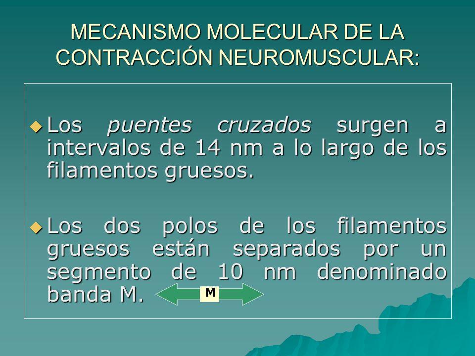 MECANISMO MOLECULAR DE LA CONTRACCIÓN NEUROMUSCULAR: Los puentes cruzados surgen a intervalos de 14 nm a lo largo de los filamentos gruesos.