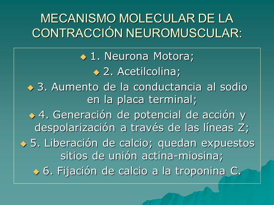 1. Neurona Motora; 1. Neurona Motora; 2. Acetilcolina; 2. Acetilcolina; 3. Aumento de la conductancia al sodio en la placa terminal; 3. Aumento de la