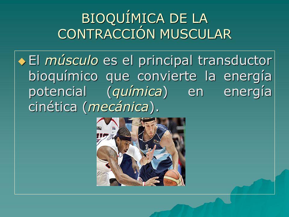 ESFUERZO MÁXIMO: ESFUERZO MÁXIMO: En la etapa inicial, el ATP es generado por las reservas de fosfocreatina (-10.3 kcal/mol).