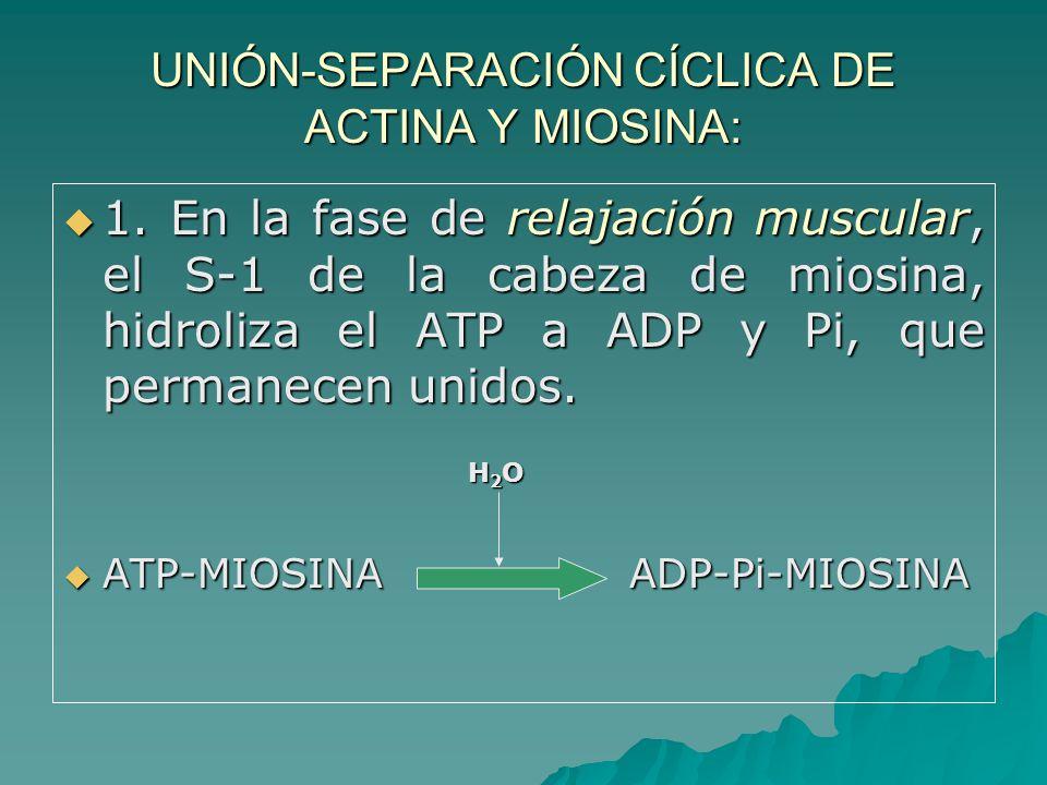 UNIÓN-SEPARACIÓN CÍCLICA DE ACTINA Y MIOSINA: 1.