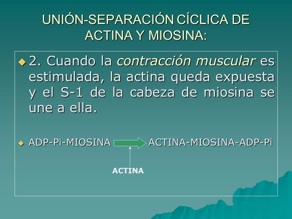 UNIÓN-SEPARACIÓN CÍCLICA DE ACTINA Y MIOSINA: 2.