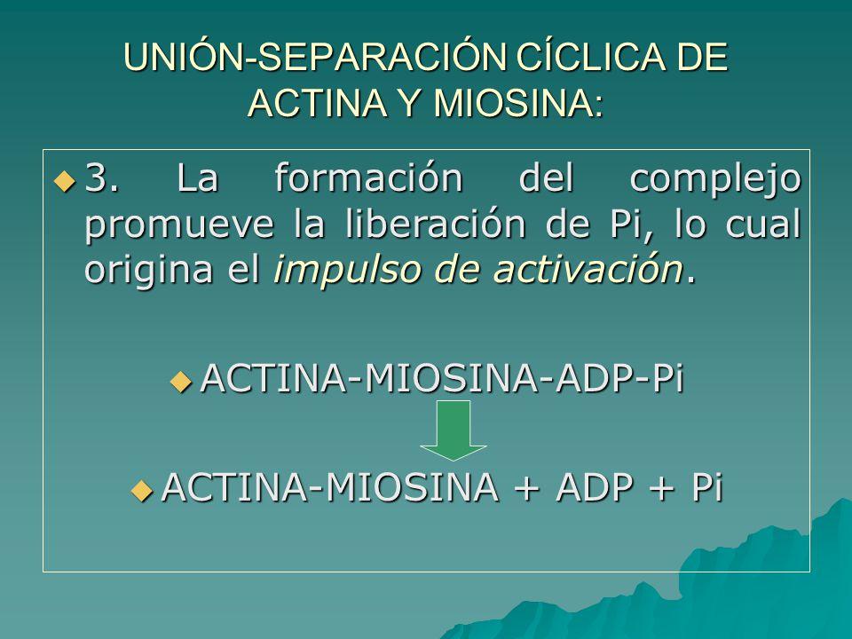 UNIÓN-SEPARACIÓN CÍCLICA DE ACTINA Y MIOSINA: 3.