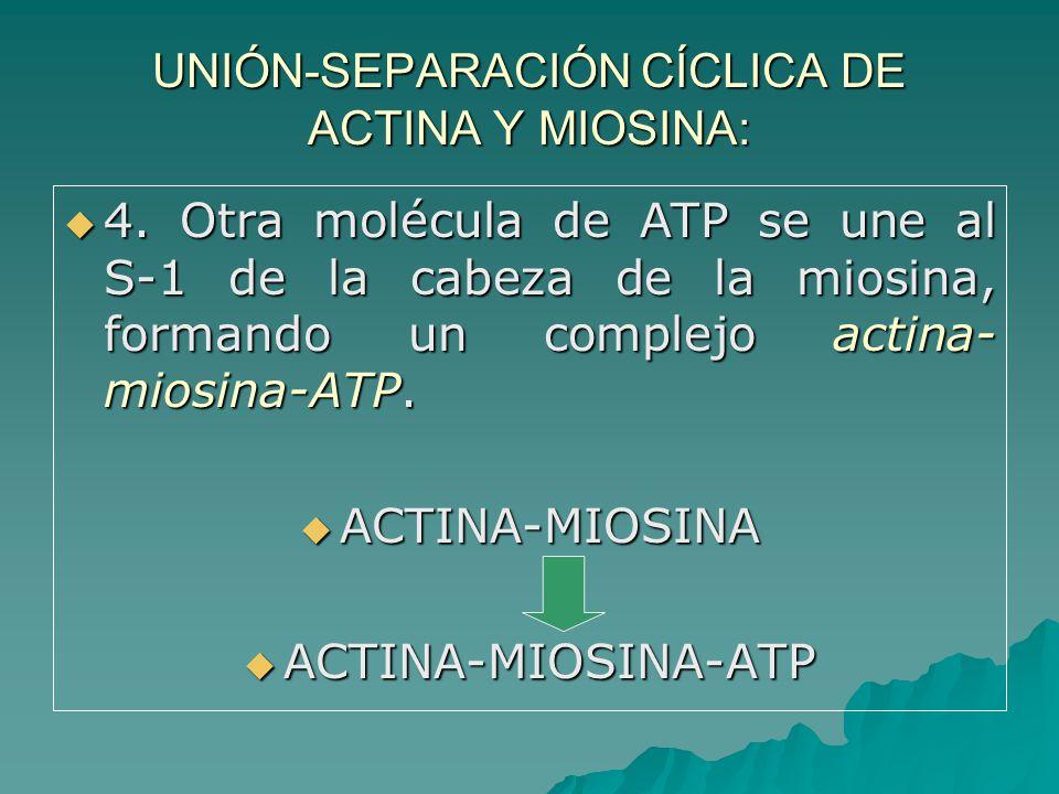 UNIÓN-SEPARACIÓN CÍCLICA DE ACTINA Y MIOSINA: 4.
