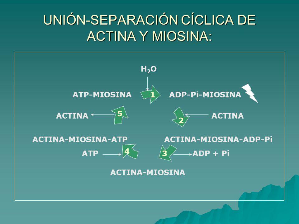 UNIÓN-SEPARACIÓN CÍCLICA DE ACTINA Y MIOSINA: ATP-MIOSINAADP-Pi-MIOSINA ACTINA-MIOSINA-ADP-Pi ACTINA-MIOSINA ACTINA-MIOSINA-ATP 1 2 ACTINA 3ADP + Pi 4