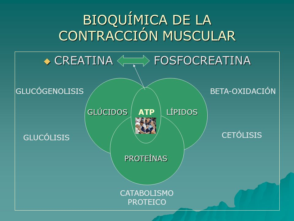 BIOQUÍMICA DE LA CONTRACCIÓN MUSCULAR CREATINA FOSFOCREATINA CREATINA FOSFOCREATINA GLÚCIDOSLÍPIDOS PROTEÍNAS ATP GLUCÓGENOLISIS GLUCÓLISIS BETA-OXIDACIÓN CETÓLISIS CATABOLISMO PROTEICO