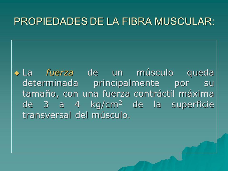 PROPIEDADES DE LA FIBRA MUSCULAR: La fuerza de un músculo queda determinada principalmente por su tamaño, con una fuerza contráctil máxima de 3 a 4 kg/cm 2 de la superficie transversal del músculo.