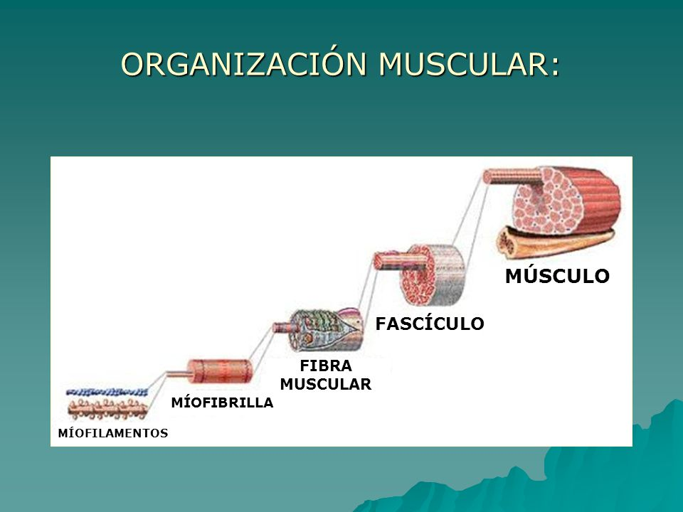 ORGANIZACIÓN MUSCULAR: MÚSCULO FASCÍCULO FIBRA MUSCULAR MÍOFIBRILLA MÍOFILAMENTOS