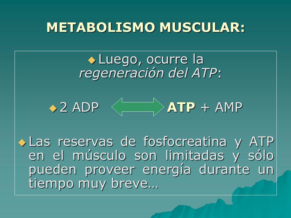 METABOLISMO MUSCULAR: Luego, ocurre la regeneración del ATP: Luego, ocurre la regeneración del ATP: 2 ADP ATP + AMP 2 ADP ATP + AMP Las reservas de fosfocreatina y ATP en el músculo son limitadas y sólo pueden proveer energía durante un tiempo muy breve… Las reservas de fosfocreatina y ATP en el músculo son limitadas y sólo pueden proveer energía durante un tiempo muy breve…