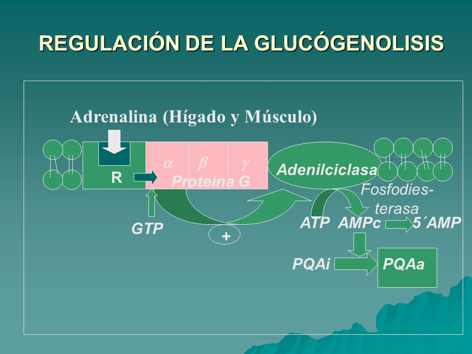 REGULACIÓN DE LA GLUCÓGENOLISIS REGULACIÓN DE LA GLUCÓGENOLISIS Adrenalina (Hígado y Músculo) ATP AMPc 5´AMP PQAi PQAa Proteína G Adenilciclasa GTP Fosfodies- terasa R +