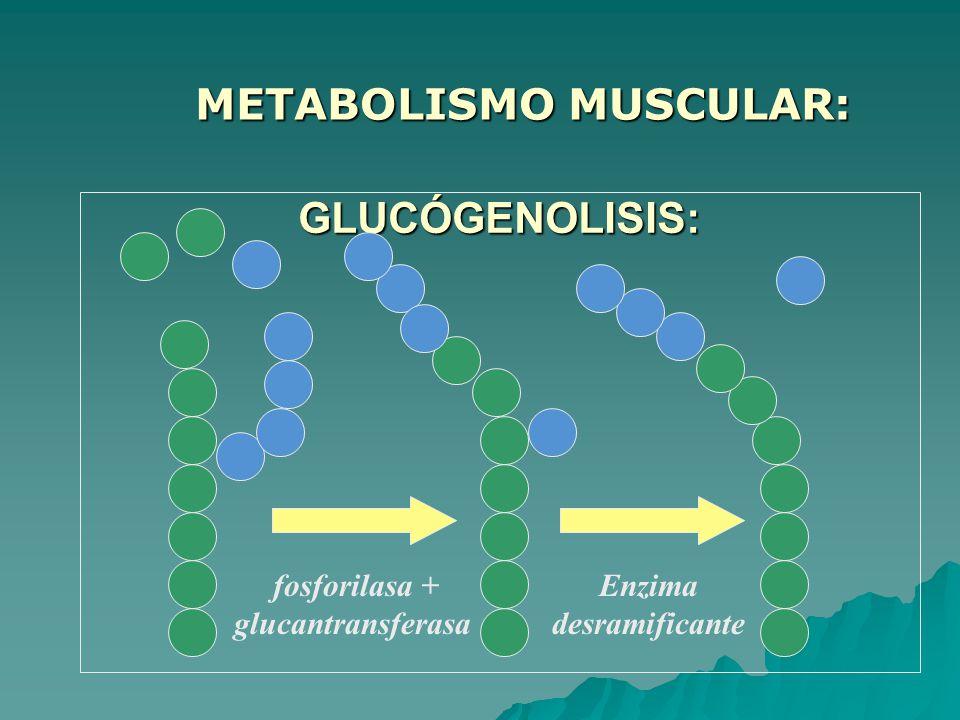 GLUCÓGENOLISIS: GLUCÓGENOLISIS: fosforilasa + glucantransferasa Enzima desramificante METABOLISMO MUSCULAR: