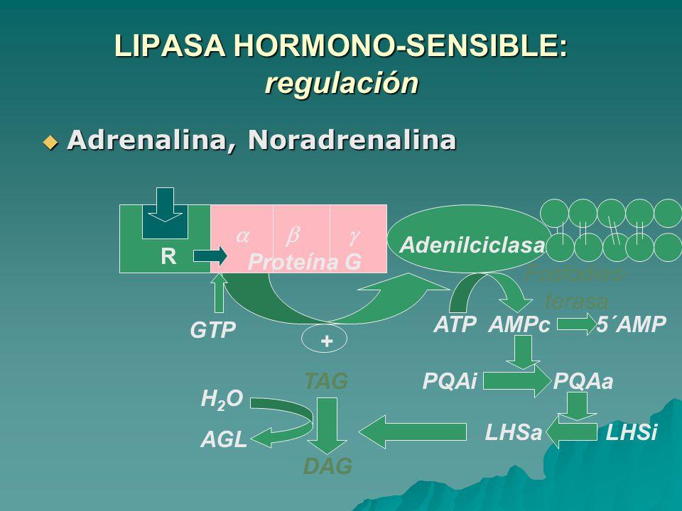 LIPASA HORMONO-SENSIBLE: regulación Adrenalina, Noradrenalina Adrenalina, Noradrenalina ATP AMPc 5´AMP PQAi PQAa LHSa LHSi Proteína G Adenilciclasa TA