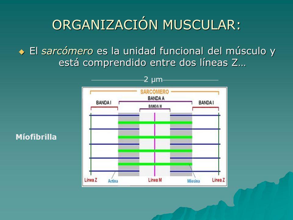 ORGANIZACIÓN MUSCULAR: El sarcómero es la unidad funcional del músculo y está comprendido entre dos líneas Z… El sarcómero es la unidad funcional del músculo y está comprendido entre dos líneas Z… Míofibrilla 2 µm