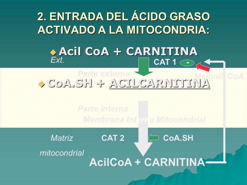 2. ENTRADA DEL ÁCIDO GRASO ACTIVADO A LA MITOCONDRIA: Acil CoA + CARNITINA Acil CoA + CARNITINA CoA.SH + ACILCARNITINA CoA.SH + ACILCARNITINA AcilCoA