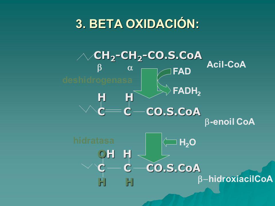 3. BETA OXIDACIÓN: CH 2 -CH 2 -CO.S.CoA CH 2 -CH 2 -CO.S.CoA H H H H C C CO.S.CoA C C CO.S.CoA OH H OH H C C CO.S.CoA C C CO.S.CoA H H H H FAD FADH 2