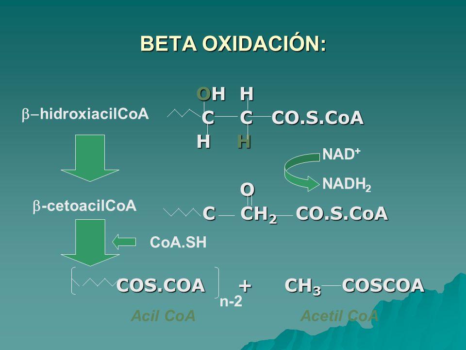 BETA OXIDACIÓN: OH H OH H C C CO.S.CoA C C CO.S.CoA H H H H O C CH 2 CO.S.CoA C CH 2 CO.S.CoA COS.COA + CH 3 COSCOA COS.COA + CH 3 COSCOA NAD + NADH 2 CoA.SH hidroxiacilCoA -cetoacilCoA n-2 Acetil CoA Acil CoA
