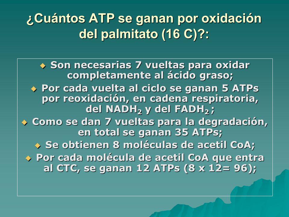 ¿Cuántos ATP se ganan por oxidación del palmitato (16 C)?: Son necesarias 7 vueltas para oxidar completamente al ácido graso; Son necesarias 7 vueltas para oxidar completamente al ácido graso; Por cada vuelta al ciclo se ganan 5 ATPs por reoxidación, en cadena respiratoria, del NADH 2 y del FADH 2 ; Por cada vuelta al ciclo se ganan 5 ATPs por reoxidación, en cadena respiratoria, del NADH 2 y del FADH 2 ; Como se dan 7 vueltas para la degradación, en total se ganan 35 ATPs; Como se dan 7 vueltas para la degradación, en total se ganan 35 ATPs; Se obtienen 8 moléculas de acetil CoA; Se obtienen 8 moléculas de acetil CoA; Por cada molécula de acetil CoA que entra al CTC, se ganan 12 ATPs (8 x 12= 96); Por cada molécula de acetil CoA que entra al CTC, se ganan 12 ATPs (8 x 12= 96);