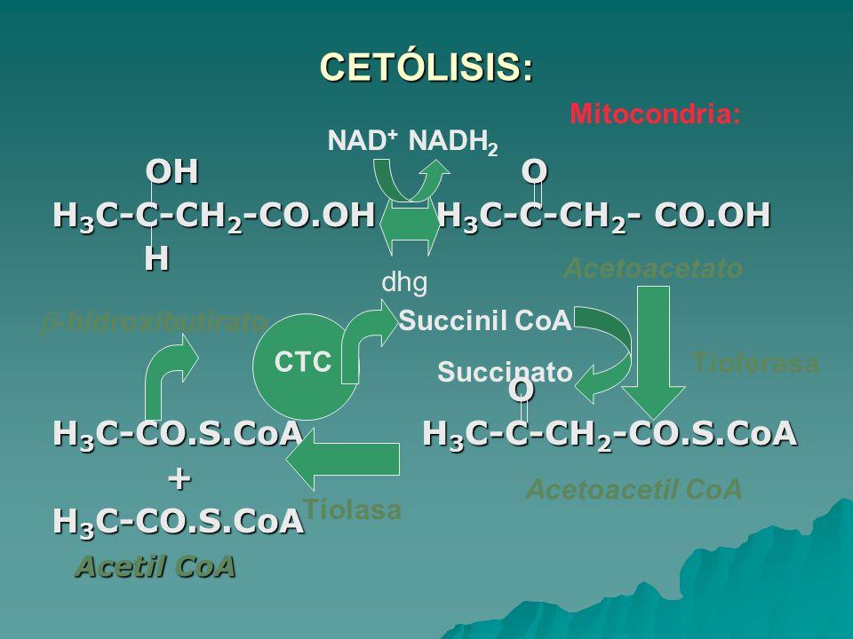 CETÓLISIS: OH O OH O H 3 C-C-CH 2 -CO.OH H 3 C-C-CH 2 - CO.OH H O H 3 C-CO.S.CoA H 3 C-C-CH 2 -CO.S.CoA + H 3 C-CO.S.CoA Acetil CoA Acetil CoA Succinil CoA Succinato CTC Acetoacetil CoA Acetoacetato -hidroxibutirato NAD + NADH 2 Tíoferasa dhg Tíolasa Mitocondria: