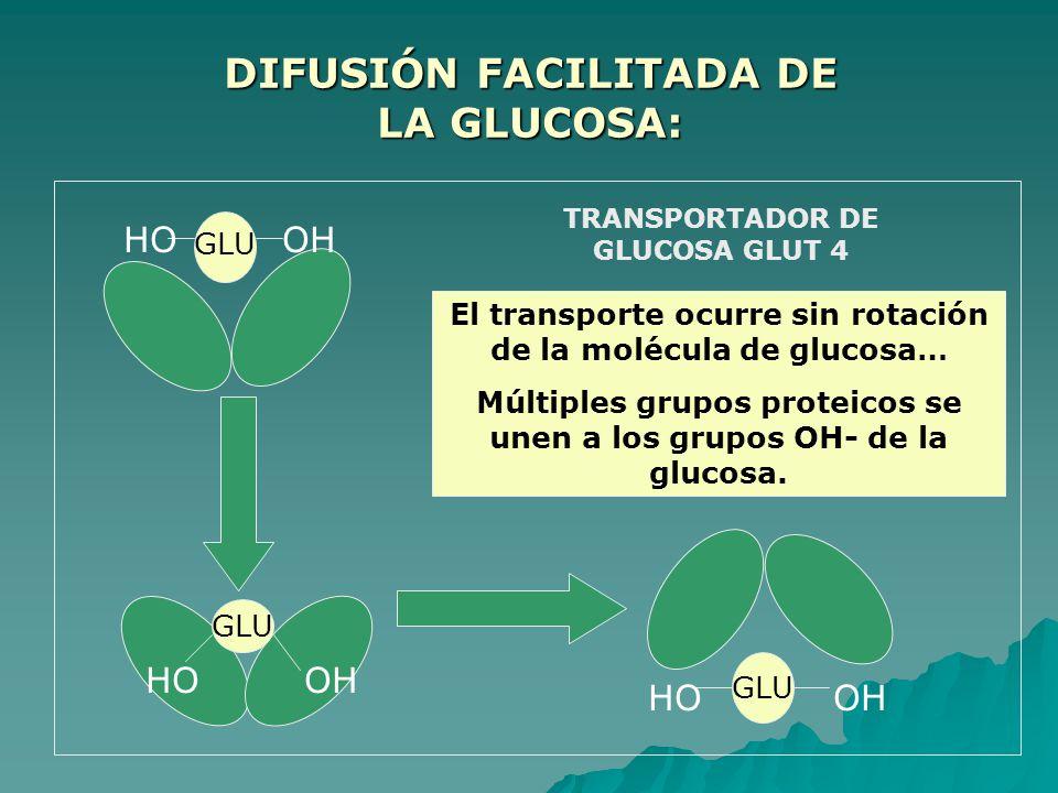 DIFUSIÓN FACILITADA DE LA GLUCOSA: GLU OHHO OHHO El transporte ocurre sin rotación de la molécula de glucosa… Múltiples grupos proteicos se unen a los grupos OH- de la glucosa.