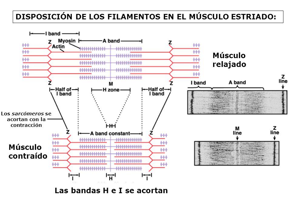UNIÓN-SEPARACIÓN CÍCLICA DE ACTINA Y MIOSINA: ATP-MIOSINAADP-Pi-MIOSINA ACTINA-MIOSINA-ADP-Pi ACTINA-MIOSINA ACTINA-MIOSINA-ATP 1 2 ACTINA 3ADP + Pi 4 ATP ACTINA 5 H2OH2O
